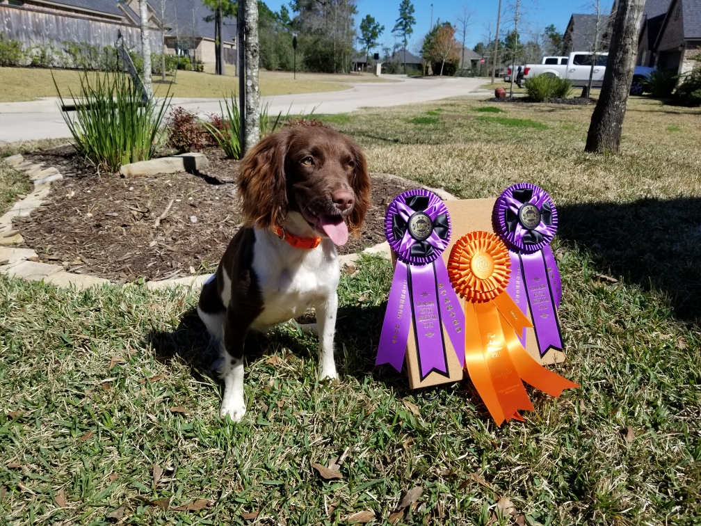 Springer Spaniel Ranch – Top shelf Springer Spaniels for